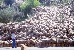 South Portugal Sheep Off Bridge - CheeseForum.org