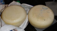 Two 4 pound Gouda's with Canola oiled rinds, one with blue surface mold, second after brush and water cleaning.